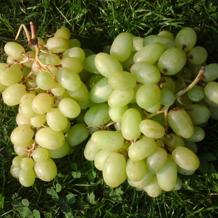 Raisin Blanc Bio